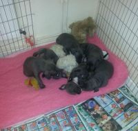 Staffordshire Bull Terrier Puppies for sale in Baltimore, MD, USA. price: NA
