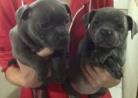 Staffordshire Bull Terrier Puppies for sale in Boise, ID, USA. price: NA