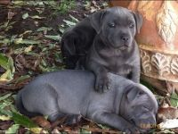 Staffordshire Bull Terrier Puppies for sale in Louisville, KY, USA. price: NA