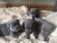 Staffordshire Bull Terrier Puppies for sale in Jackson, WY, USA. price: NA