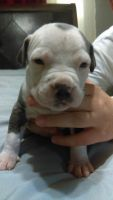 Staffordshire Bull Terrier Puppies for sale in Cape Coral, FL, USA. price: NA