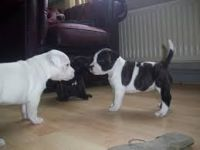 Staffordshire Bull Terrier Puppies for sale in Honolulu, HI, USA. price: NA