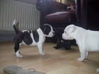Staffordshire Bull Terrier Puppies for sale in Los Angeles, CA, USA. price: NA
