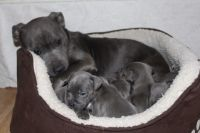 Staffordshire Bull Terrier Puppies for sale in Holyoke, MA, USA. price: NA