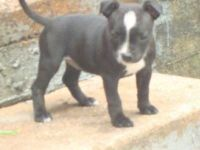 Staffordshire Bull Terrier Puppies for sale in Chicago, IL, USA. price: NA