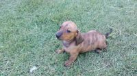 Staffordshire Bull Terrier Puppies for sale in Columbus, OH, USA. price: NA