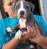 Staffordshire Bull Terrier Puppies for sale in Chula Vista, CA, USA. price: NA