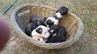 Staffordshire Bull Terrier Puppies for sale in Berkeley, CA, USA. price: NA
