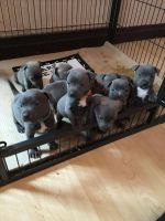 Staffordshire Bull Terrier Puppies for sale in Miami, FL, USA. price: NA