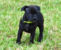 Staffordshire Bull Terrier Puppies for sale in New York, NY, USA. price: NA