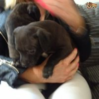Staffordshire Bull Terrier Puppies for sale in California City, CA, USA. price: NA