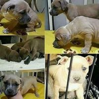 Staffordshire Bull Terrier Puppies for sale in San Diego, CA, USA. price: NA