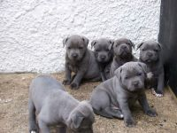 Staffordshire Bull Terrier Puppies for sale in Huntington Beach, CA, USA. price: NA