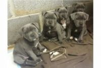 Staffordshire Bull Terrier Puppies for sale in Birmingham, AL, USA. price: NA