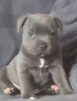 Staffordshire Bull Terrier Puppies for sale in Chicago Ave, Evanston, IL, USA. price: NA
