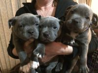 Staffordshire Bull Terrier Puppies for sale in Cambridge, MA, USA. price: NA