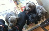 Staffordshire Bull Terrier Puppies for sale in New York, NY 10119, USA. price: NA