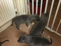 Staffordshire Bull Terrier Puppies for sale in Terminal Dr, Nashville, TN 37214, USA. price: NA
