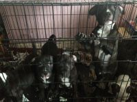 Staffordshire Bull Terrier Puppies for sale in California St, San Francisco, CA, USA. price: NA