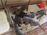 Staffordshire Bull Terrier Puppies for sale in Henderson, NV, USA. price: NA
