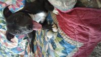 Staffordshire Bull Terrier Puppies for sale in Fernley, NV, USA. price: NA