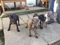 Staffordshire Bull Terrier Puppies for sale in OR-99W, McMinnville, OR 97128, USA. price: NA