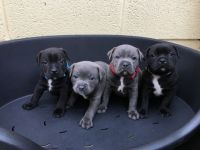 Staffordshire Bull Terrier Puppies for sale in Sammamish, WA, USA. price: NA