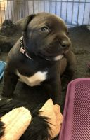 Staffordshire Bull Terrier Puppies for sale in Altamonte Springs, FL 32701, USA. price: NA