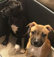 Staffordshire Bull Terrier Puppies for sale in Houston, TX 77022, USA. price: NA