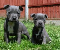 Staffordshire Bull Terrier Puppies for sale in Framingham Cir, Pflugerville, TX 78660, USA. price: NA