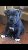 Staffordshire Bull Terrier Puppies for sale in Miami, FL 33247, USA. price: NA