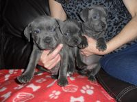 Staffordshire Bull Terrier Puppies for sale in Tucson, AZ, USA. price: NA