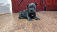 Staffordshire Bull Terrier Puppies for sale in Nashville, TN 37246, USA. price: NA