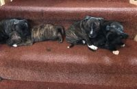 Staffordshire Bull Terrier Puppies for sale in Clifton, NJ, USA. price: NA