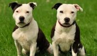 Staffordshire Bull Terrier Puppies for sale in Portland, OR, USA. price: NA