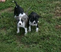 Staffordshire Bull Terrier Puppies for sale in Alexander City, AL, USA. price: NA