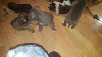 Staffordshire Bull Terrier Puppies for sale in Detroit, MI, USA. price: NA