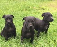 Staffordshire Bull Terrier Puppies for sale in Macon, GA, USA. price: NA