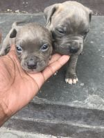 Staffordshire Bull Terrier Puppies for sale in Brooklyn, NY, USA. price: NA