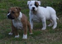 Staffordshire Bull Terrier Puppies for sale in F1B Atlantic Blvd, Jacksonville, FL 32224, USA. price: NA