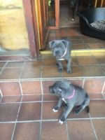 Staffordshire Bull Terrier Puppies for sale in Weehawken, NJ 07086, USA. price: NA