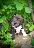 Staffordshire Bull Terrier Puppies for sale in Millersburg, OH 44654, USA. price: NA