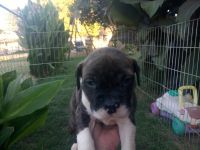 Staffordshire Bull Terrier Puppies for sale in Bakersfield, CA, USA. price: NA