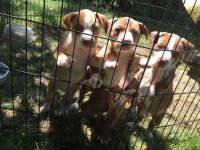 Staffordshire Bull Terrier Puppies for sale in Rockford, IL, USA. price: NA