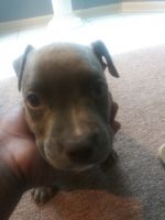 Staffordshire Bull Terrier Puppies for sale in Snellville, GA, USA. price: NA