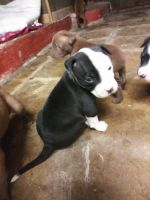 Staffordshire Bull Terrier Puppies for sale in Fall River, MA, USA. price: NA