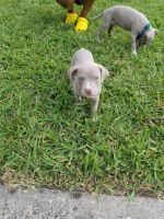 Staffordshire Bull Terrier Puppies for sale in Broward County, FL, USA. price: NA