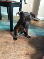 Staffordshire Bull Terrier Puppies for sale in 1307 Gates Ave, Brooklyn, NY 11221, USA. price: NA