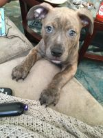 Staffordshire Bull Terrier Puppies for sale in Baltimore, MD 21214, USA. price: NA
