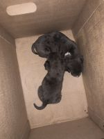 Staffordshire Bull Terrier Puppies for sale in Charlotte, NC, USA. price: NA